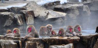 猴子泡溫泉