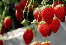 草莓,一日遊,東京,日本