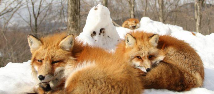 miyazaki, fox, zoo