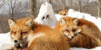 狐狸村, 宮城