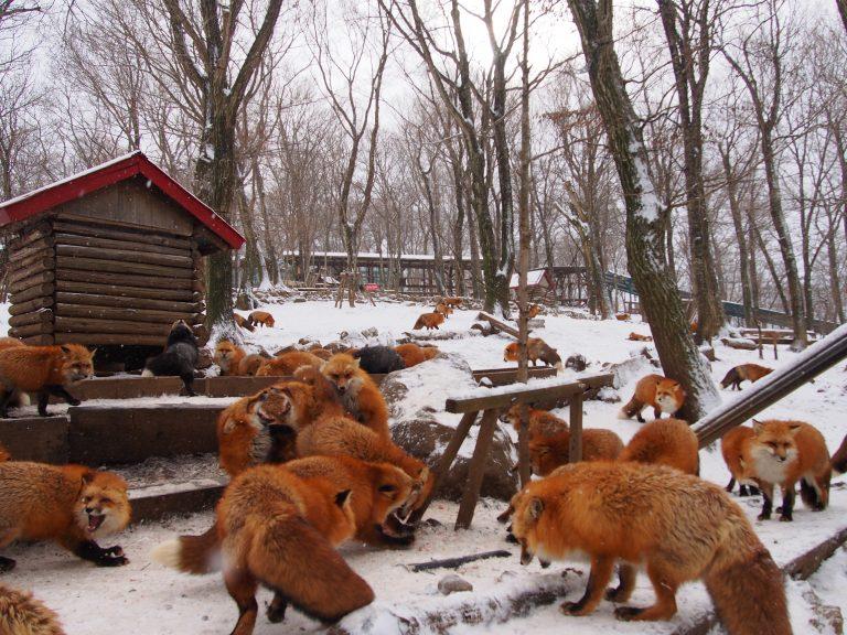 狐狸村, 宮城, 日本, fox