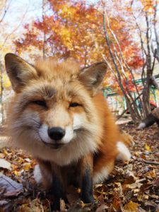 foxvillage, 狐狸村