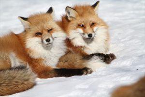 冬天狐狸村, 宮城, winter, fox